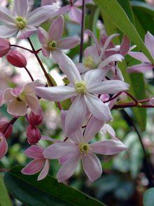 Clematis armandii 'Apple Blossom' (Groenblijvende Bosrank of bosdruif)