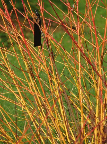 Cornus sanguinea 'Winter Beauty' (Rode kornoelje)