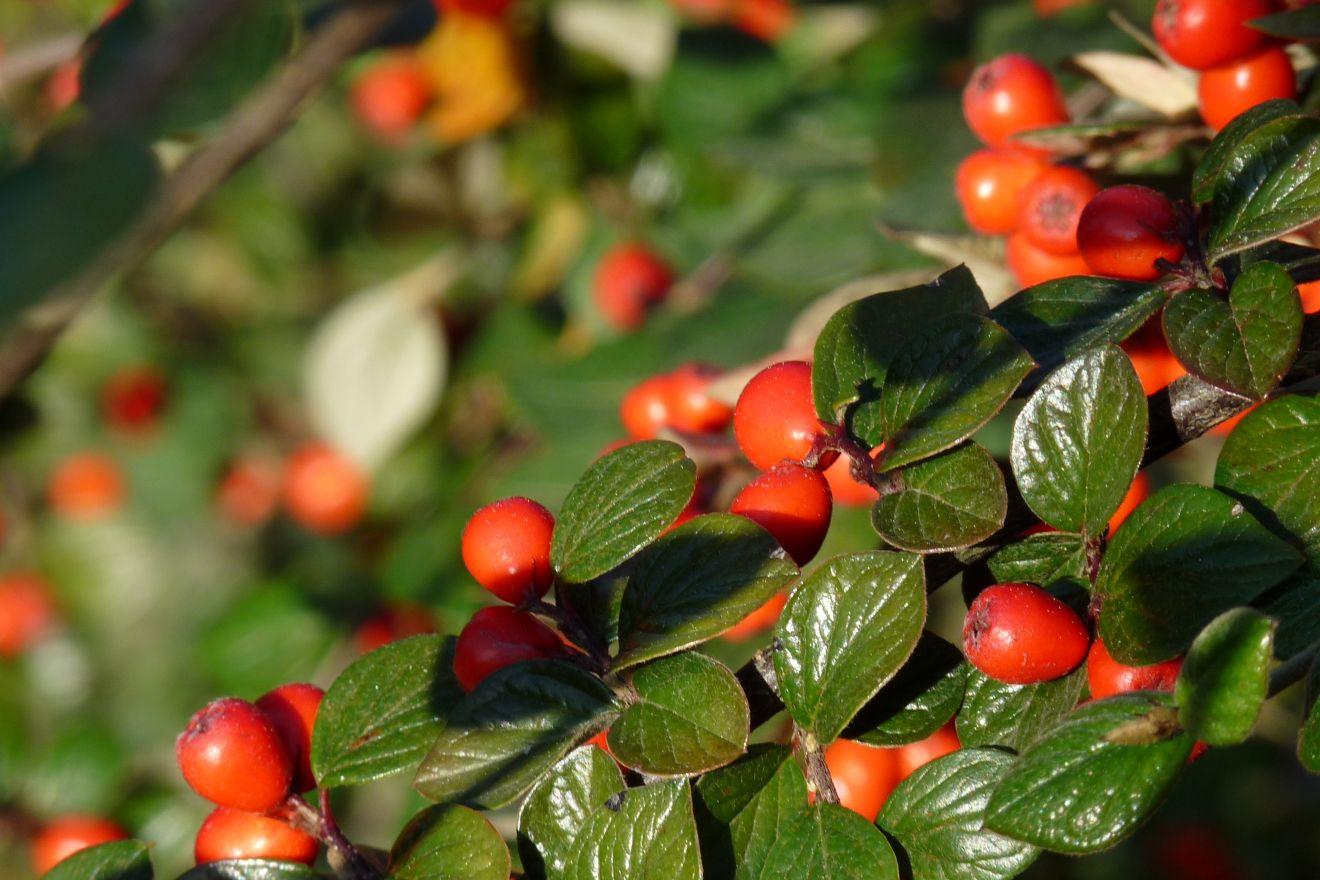Cotoneaster franchetii (Dwergmispel)