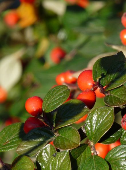 Cotoneaster franchetii (Dwergmispel)