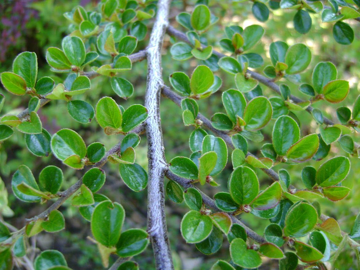 Cotoneaster horizontalis (Dwergmispel)
