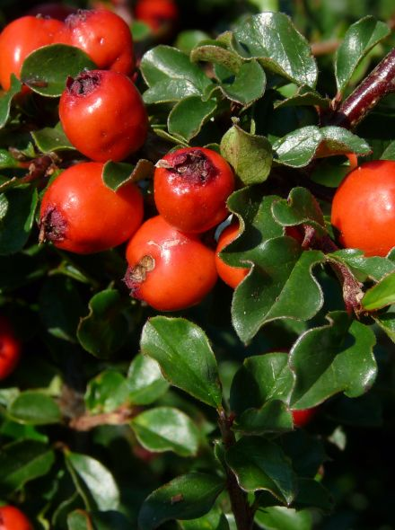 Cotoneaster nanshan 'Boer' (Dwergmispel)