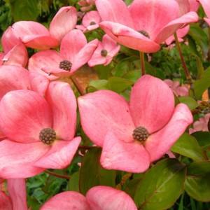 Bladplantenborder