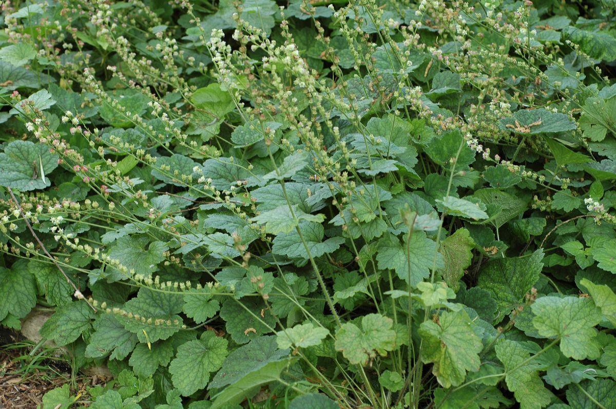 Tellima grandiflora (Franjekopje)