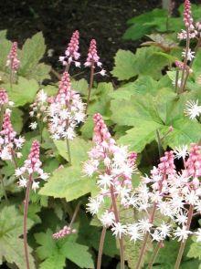 Tiarella cordifolia 'Oakleaf' (Schuimbloem, Perzische muts, schuimbloem)
