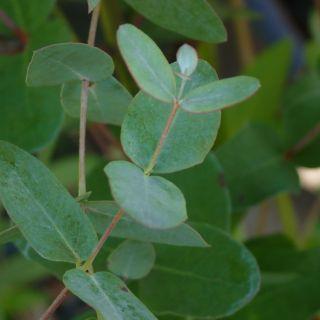 Eucalyptus gunnii (Cidergomboom)