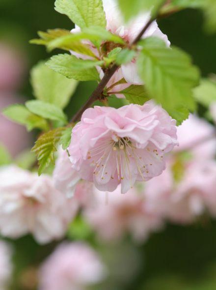 Prunus triloba (sieramandelboompje, sierkers)