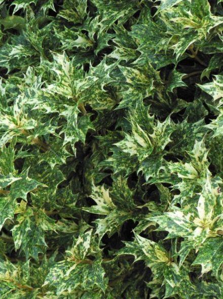 Osmanthus heterophyllus 'Goshiki' (Schijnhulst)