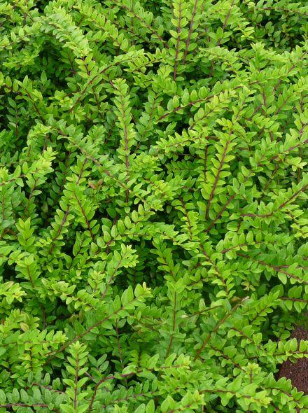 Lonicera nitida 'Maigrun' (Chinese kamperfoelie of struikkamperfolie, buxus vervanger)
