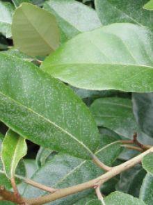 Groenblijvende leiboom Elaeagnus ebbingei (Olijfwilg als leivorm)