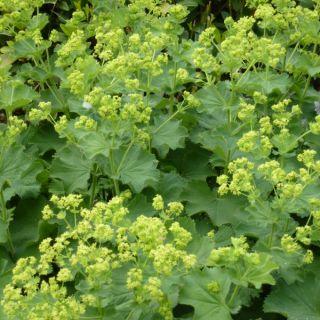 Alchemilla mollis (Vrouwenmantel, Weiche Frauenmantel, Garden lady's-mantle)
