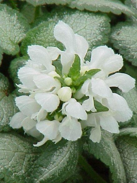 Lamium maculatum 'White Nancy' (Gevlekte dovenetel)