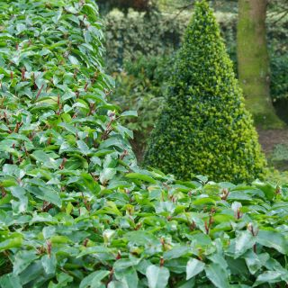 Prunus lusitanica 'Angustifolia' (Portugese Laurierkers)