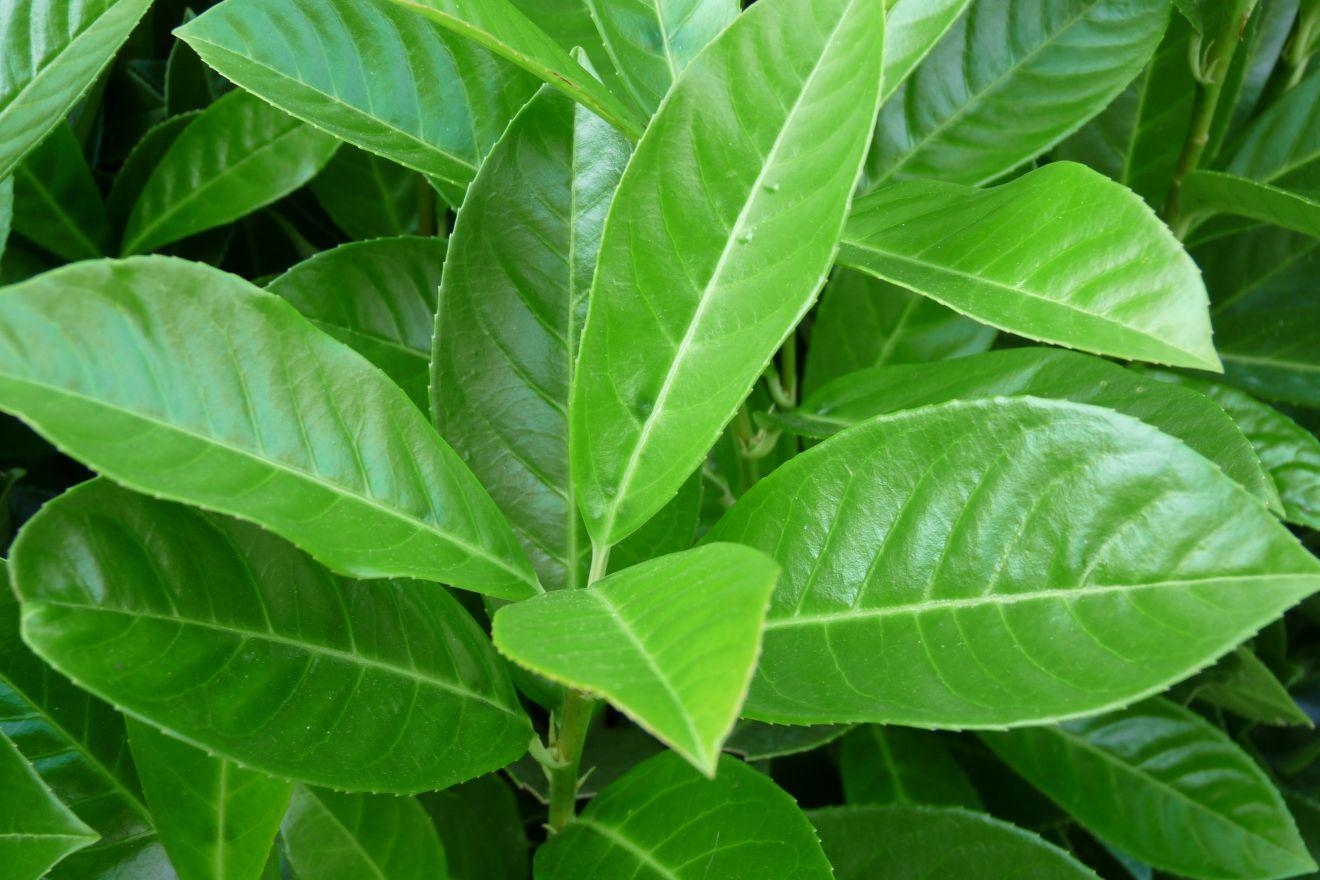prunus laurocerasus 39 rotundifolia 39 laurierkers de tuinen van appeltern. Black Bedroom Furniture Sets. Home Design Ideas