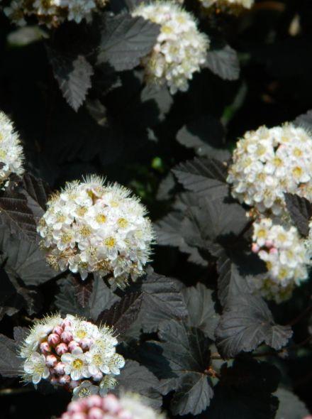 Physocarpus opulifolius 'Diabolo' (Blaasspirea)