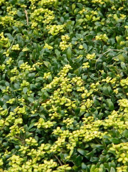 Ilex crenata 'Convexa' (Japanse of Chinese hulst, buxus vervanger)