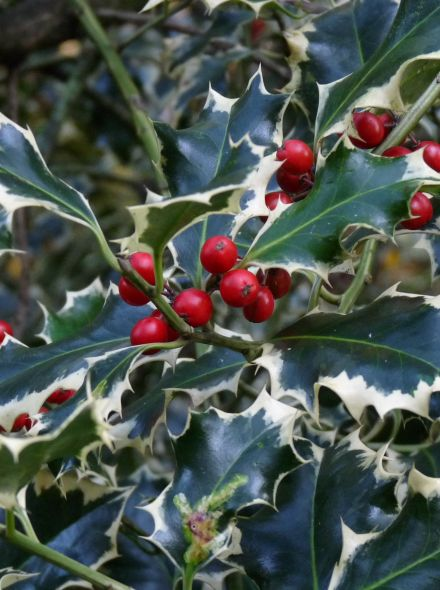 Ilex aquifolium 'Madame Briot' (Bonte hulst)