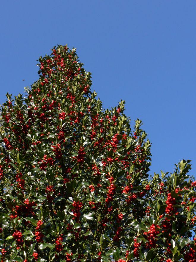 Ilex aquifolium 'J.C. van Tol' (Besdragende hulst)