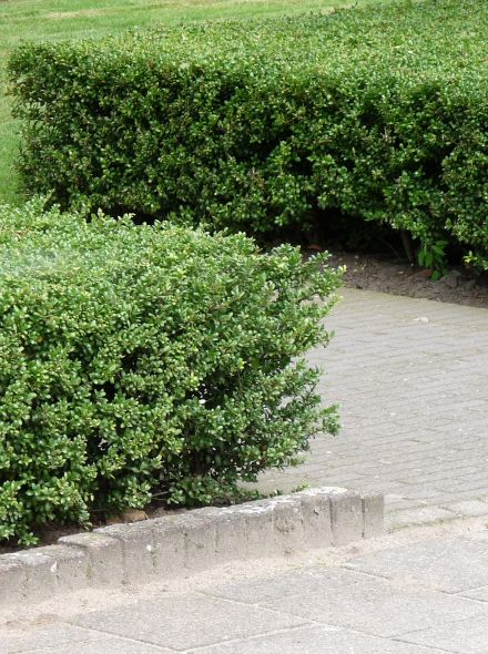 Ilex crenata 'Green Hedge' (Japanse hulst)