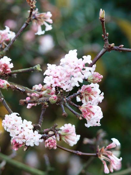 Viburnum bodnantense 'Charles Lamont' (Sneeuwbal)