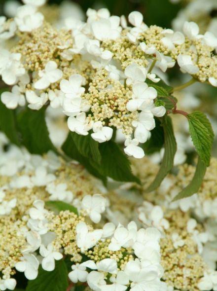Viburnum plicatum f. tomentosum (Japanse sneeuwbal)