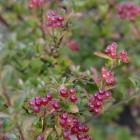 Viburnum plicatum 'Cascade' (Japanse sneeuwbal) - c3 30/40 cm