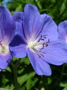 Geranium 'Brookside' (Ooievaarsbek)