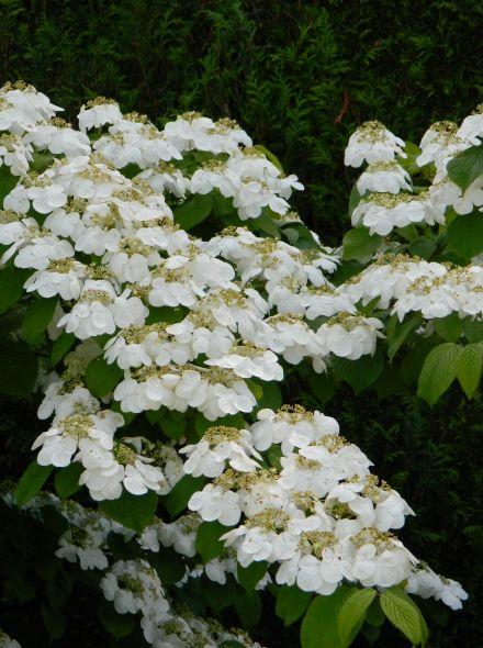 Viburnum plicatum 'Watanabe' (Japanse sneeuwbal)
