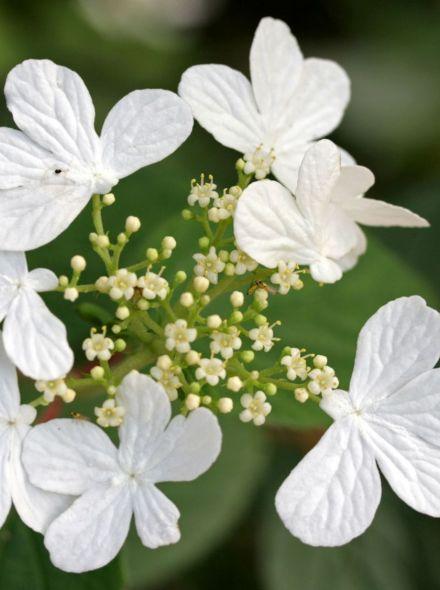 Viburnum plicatum 'Summer Snowflake' (Japanse sneeuwbal)