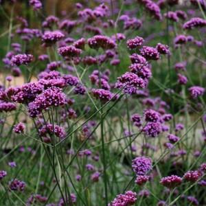 Plantenborder Rood-Violet