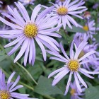 Aster frikartii 'Monch' - p9
