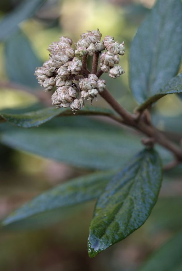 Viburnum pragense (Sneeuwbal)
