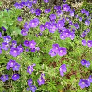 Plantenborder Violet-Groengeel