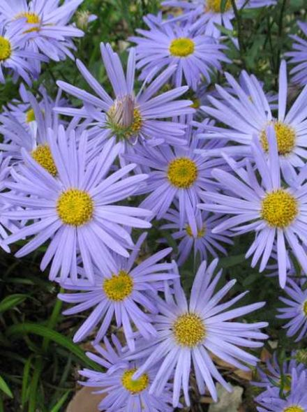Kalimeris incisa 'Blue Star' (Zomeraster)