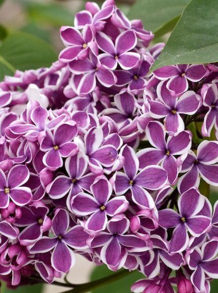 Syringa vulgaris 'Sensation' (Tweekleurige sering paars en wit)