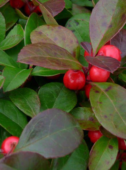 Gaultheria procumbens (Appeltjesblad, Bergthee, Patrijzenbes)