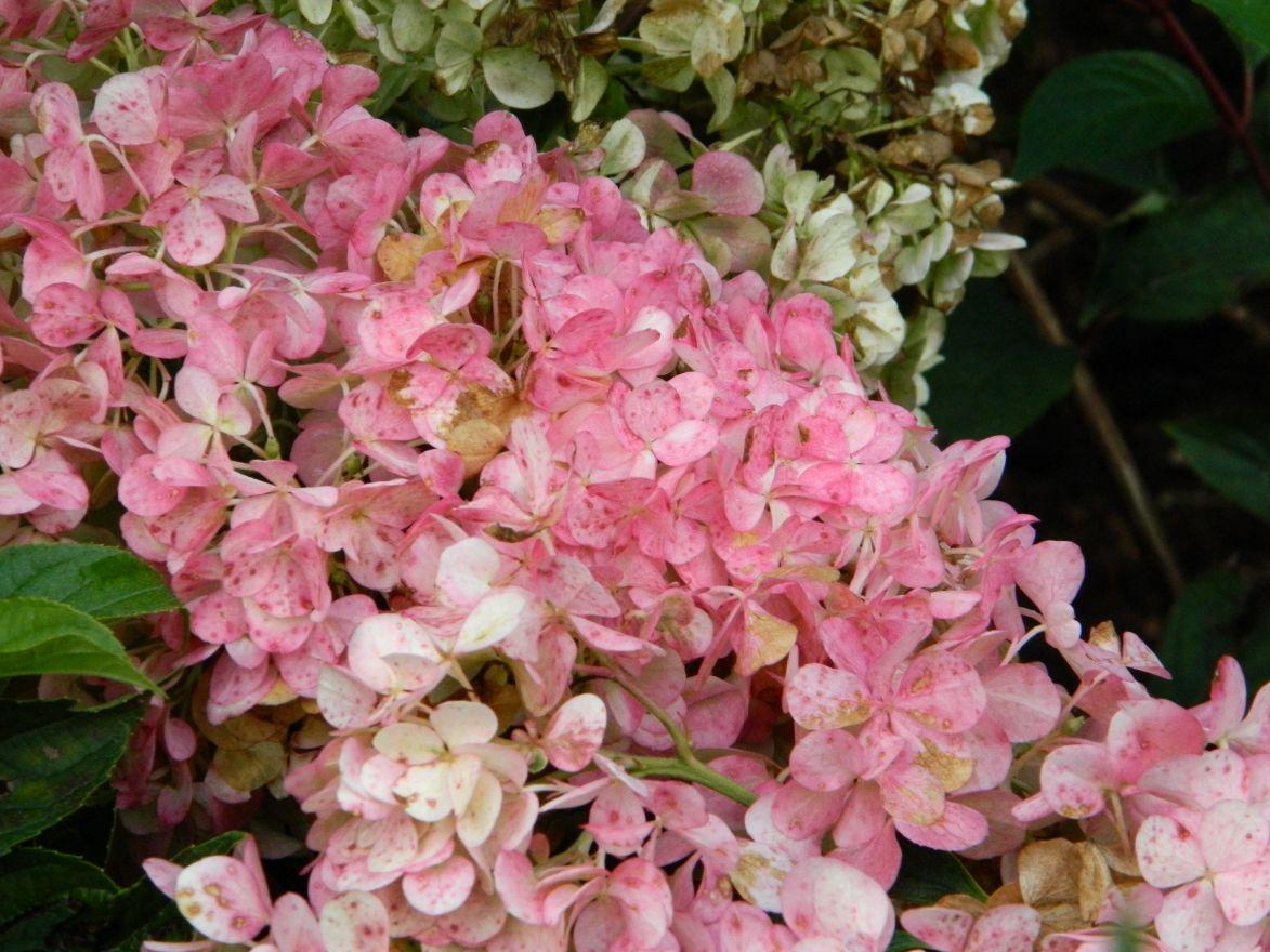 Hydrangea paniculata 'Vanille Fraise' (Pluimhortensia)