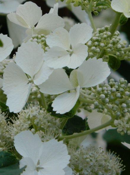 Hydrangea paniculata White Lady (Pluimhortensia)