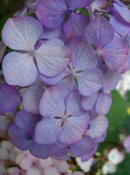 Hydrangea serrata Preziosa (Roze Japanse berghortensia)