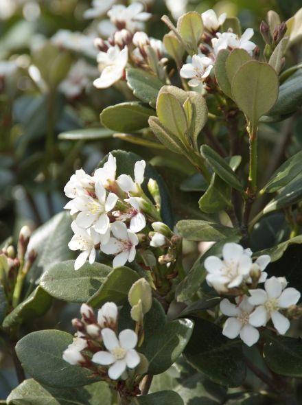 Rhaphiolepis umbellata (Indiase meidoorn)