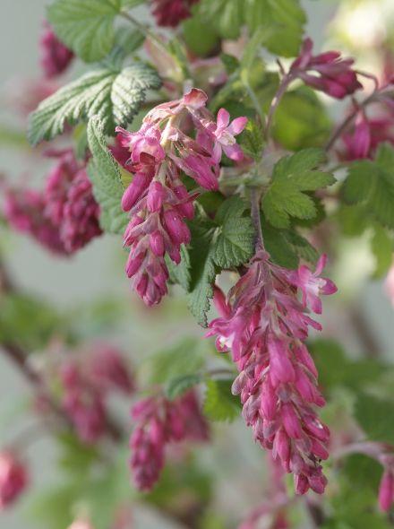 Ribes sanguineum 'King Edward VII' (Rode ribes, siertrosbes)
