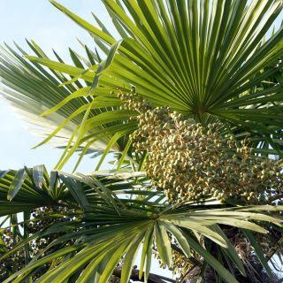 Trachycarpus fortunei (Winterharde palm, Chinese Henneppalm, Waaierpalm)