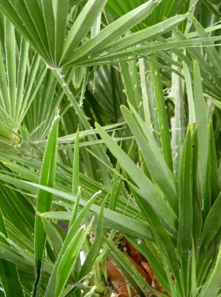 Chamaerops humilis Vulcano (Europese dwergpalm, Winterharde palm)