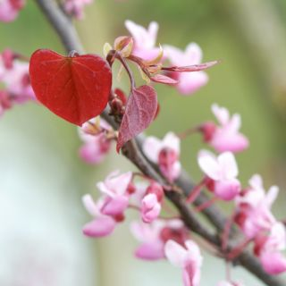 Cercis canadensis 'Forest Pansy' (Roodbladige Judasboom) -  100/125 cm container