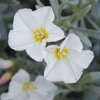 Convolvulus cneorum (Zilverwinde) - 20/25 cm