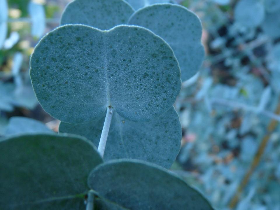 eucalyptus gunnii azura winterharde eucalyptus c3. Black Bedroom Furniture Sets. Home Design Ideas