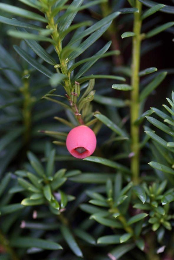 Taxus baccata (Venijnboom, Taxus haag)