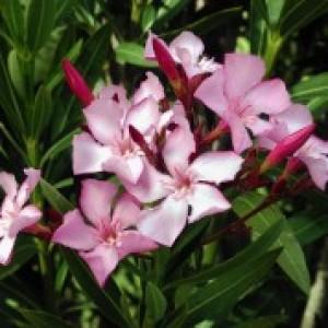 Verzorging van de Oleander
