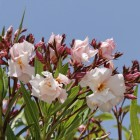 Nerium oleander (Oleander) - 125/150 cm