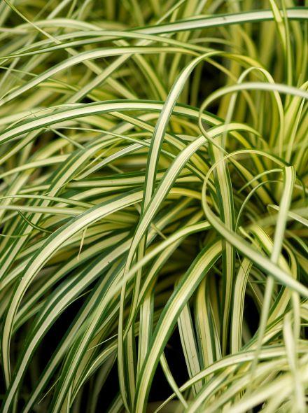 Carex oshimensis 'Evergold' (Bontbladige zegge)